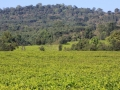 The tea plantation