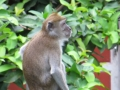 Monkey visitor on Bukit Lawang