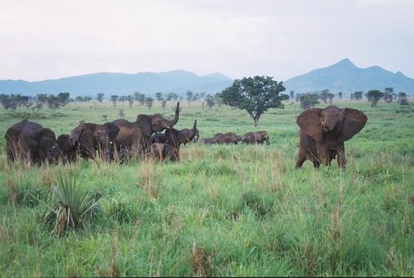 Elephants, Kidepo, Uganda