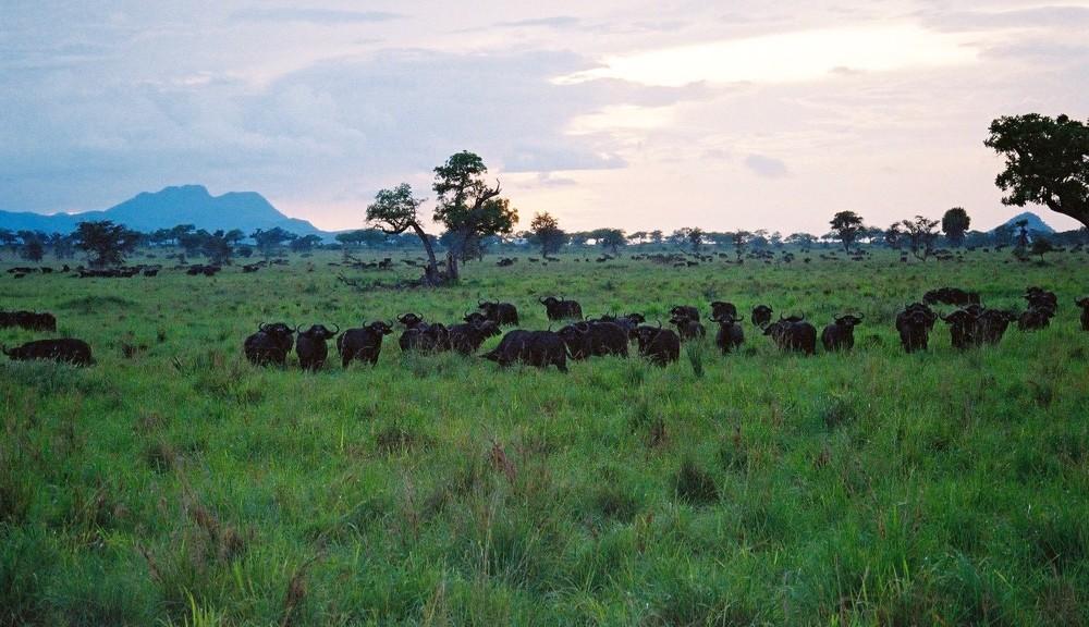 Cape Buffalo, Kidepo, Uganda